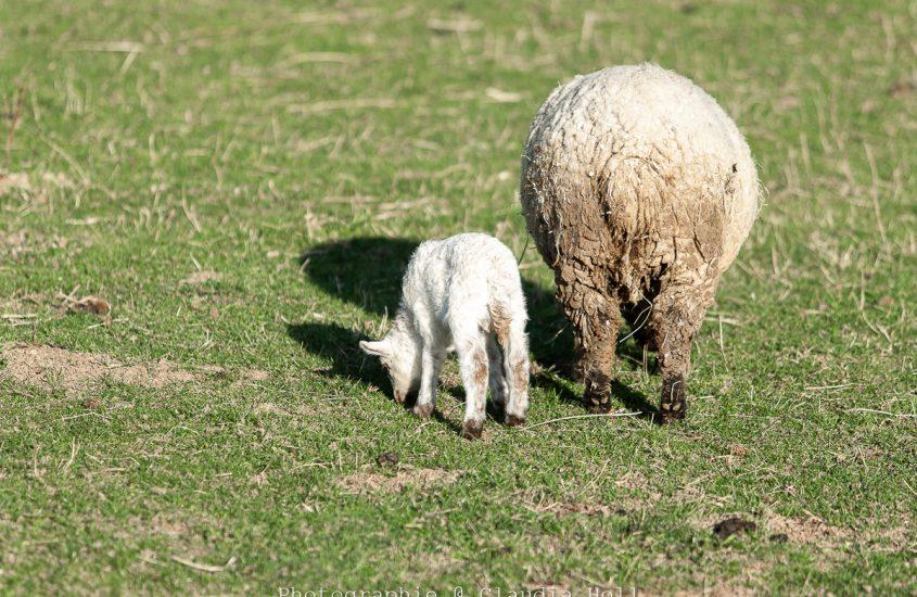 Wie aus 2 Schafen – 6 Schafe wurden