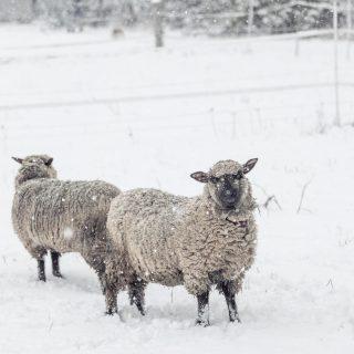 Vor einigen Tagen habe ich einen  Blogpost über Augusta und Luise fertig gestellt. Und kämpfe seither mit der Technik... und ehe jetzt bald die Osterhasen kommen,  hab ich den Post hochgeladen.  Es hakt immer noch ein bisschen an der Technik, aber was soll's...  trotzdem  viel Spaß beim Lesen!  Und natürlich freue ich mich über Kommentare!  Hier der Link zum Post https://benzing-blog.de/augusta-luises-1-winter-auf-dem-blumenhof/ Ein schönes Wochenende für euch Alle! Macht's euch kuschelig. . . . . . . #schafliebe #unserlebenaufdemland #shrobshires #schäfchen #countryliving #shabbychicfarmhouse #shabbychicfarmdecor #unserlebenmittieren #unserekleinefarm #cosyandwarm #wintertime #augustaluise #wiewirleben #solebenwir #landlebenistschön #sheepsofinstagram #sheeplover #bauernhofliebe