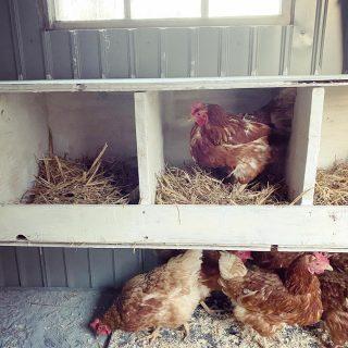 Endlich sind sie da:  unsere ersten Hühner! 8 Hühner-Damen sind heute bei uns eingezogen. Das Hühnerhaus hat noch Platz für ein paar mehr. Wir haben schon neue Pläne... Und mit etwas Glück haben wir morgen schon unsere ersten Frühstücks-Eier 🥚🥚 Ein schönes Wochenende für euch Alle! @twendelin01 @benschledikt @marius_rau97  . . . . . #savethechickens #backyardchickens #lebenaufdemland #glücklichehühner #landhuhn #unserlebenaufdemland #unserekleinefarm #shabbychicfarmhouse #shabbychiccountry #chickensofinstagram #mychickens #bauernhofleben #wiewirleben #blumenhofbenzing #eigeneeier #eigeneeiervonglücklichenhühnern